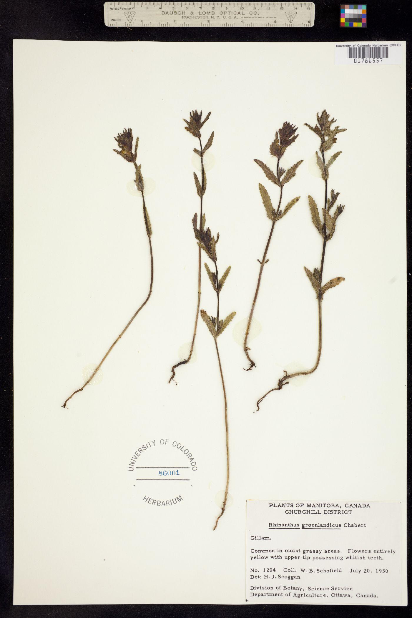 Rhinanthus groenlandicus image