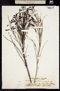 Image of Russelia equisetiformis
