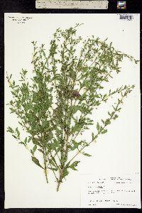 Image of Scoparia dulcis