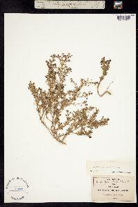 Image of Scoparia annua