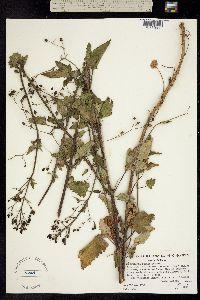 Image of Scrophularia atrata