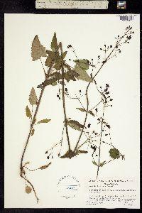 Scrophularia atrata image
