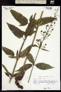 Scrophularia montana image