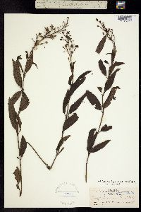 Image of Scrophularia montana