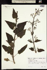 Image of Scrophularia villosa