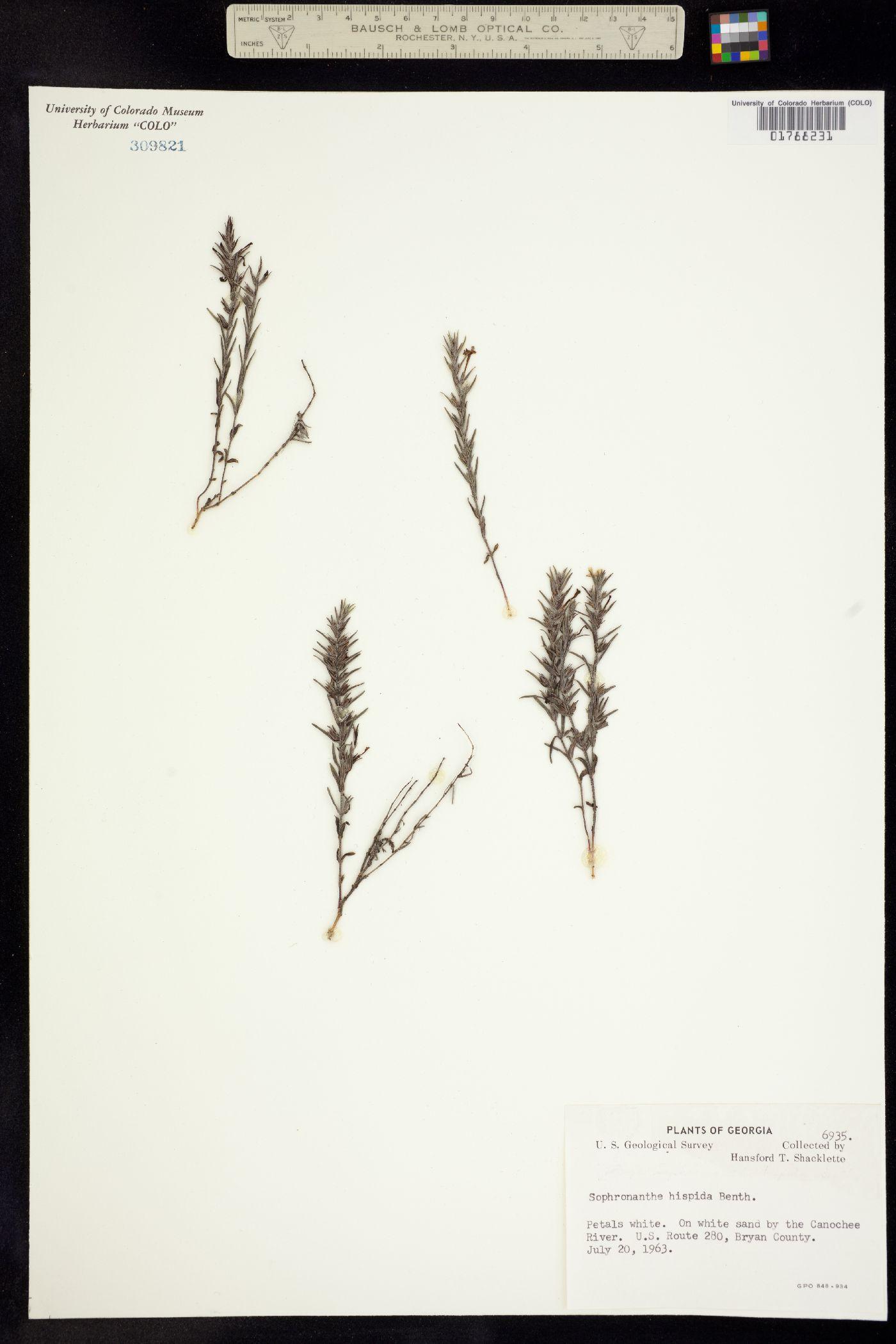 Gratiola hispida image
