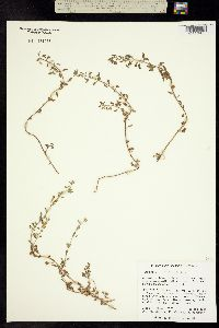 Stemodia palmeri image