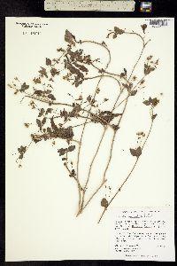 Stemodia macrantha image