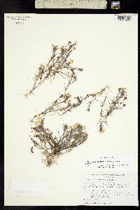 Triphysaria eriantha image