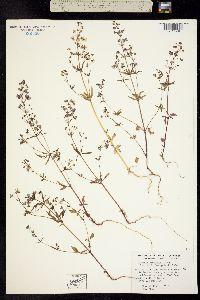Tonella floribunda image