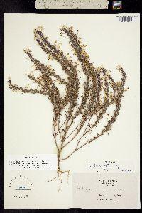 Triphysaria versicolor image