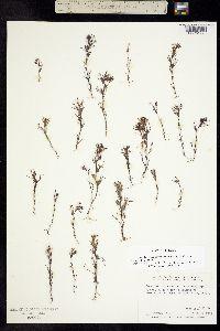 Image of Orthocarpus micranthus