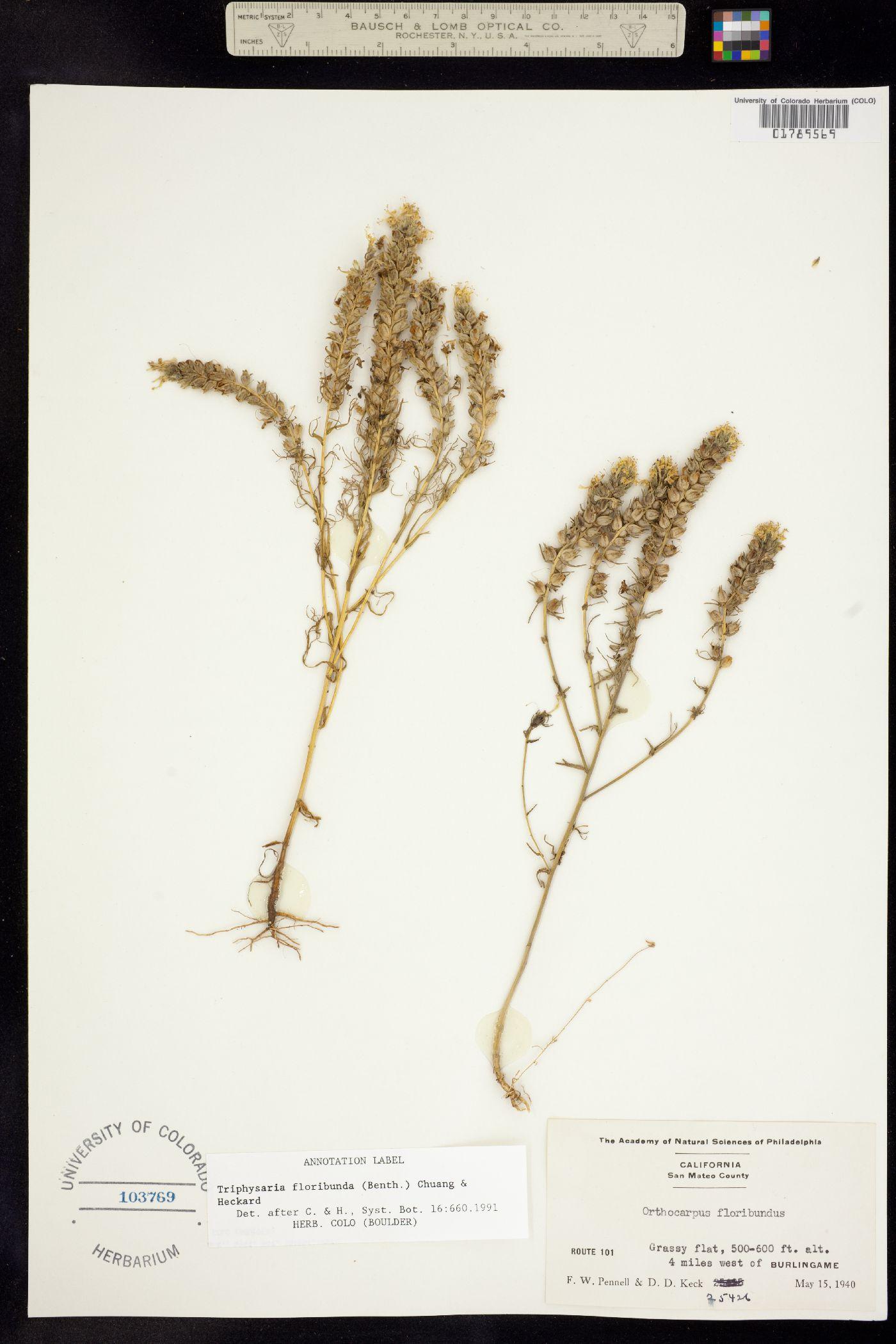 Triphysaria floribunda image