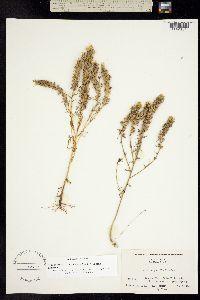 Image of Orthocarpus floribundus