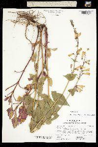 Image of Penstemon pseudospectabilis