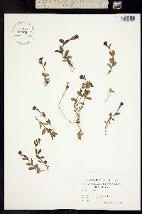 Veronica alpina image