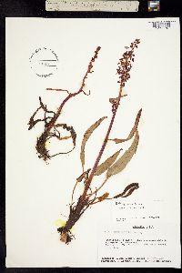Image of Rumex arcticus