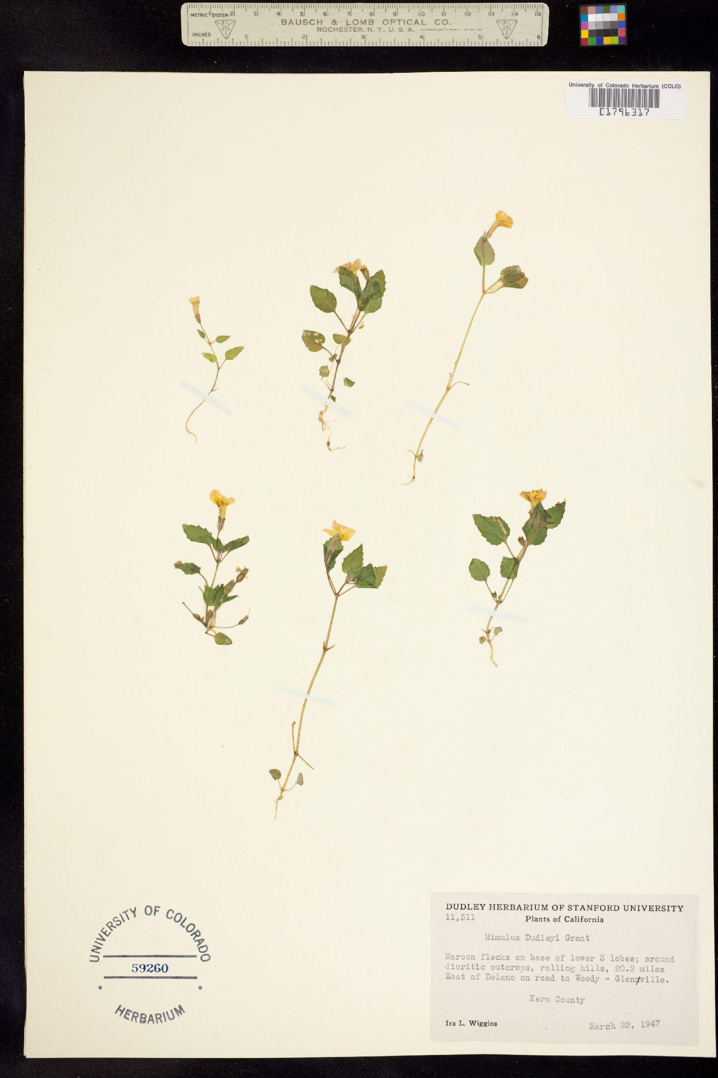 Mimulus dudleyi image