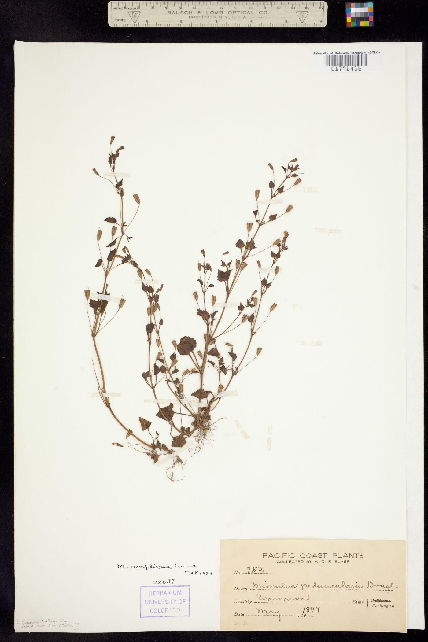 Mimulus washingtonensis image