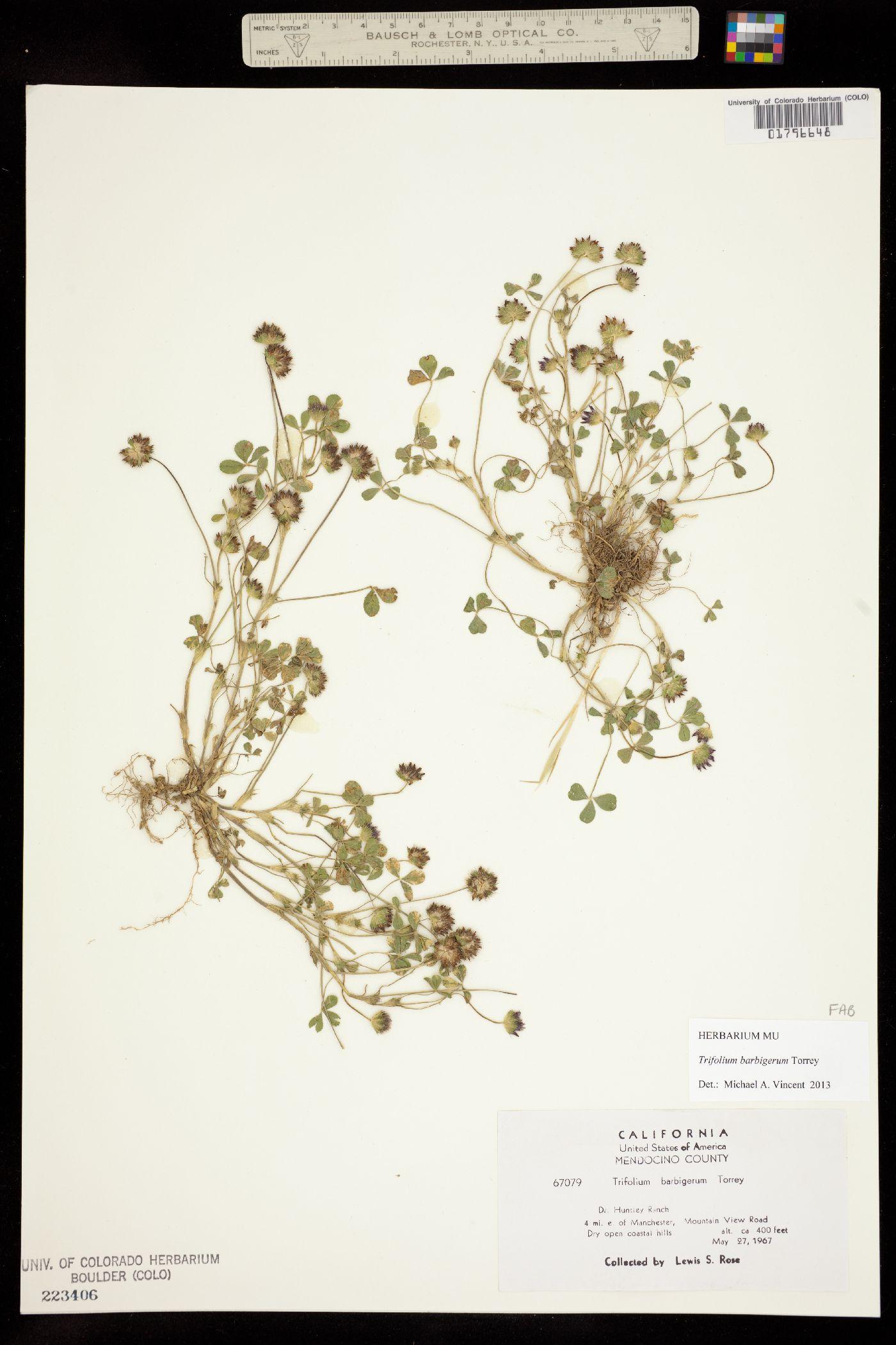 Trifolium barbigerum image