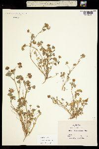 Image of Trifolium gracilentum