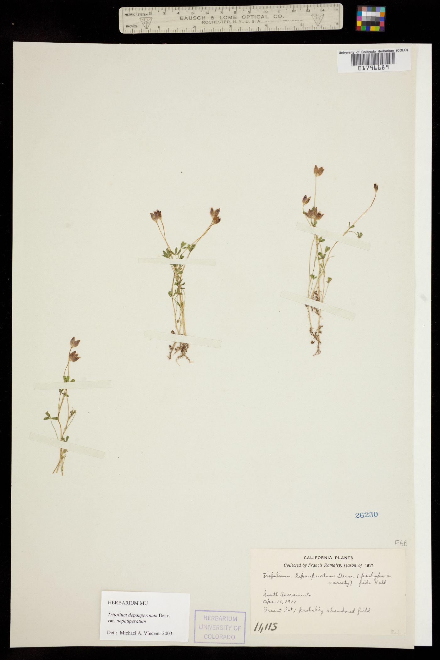 Trifolium depauperatum var. depauperatum image