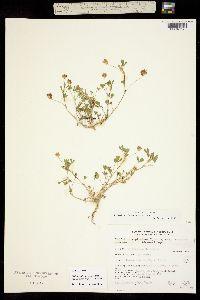 Trifolium depauperatum var. amplectens image