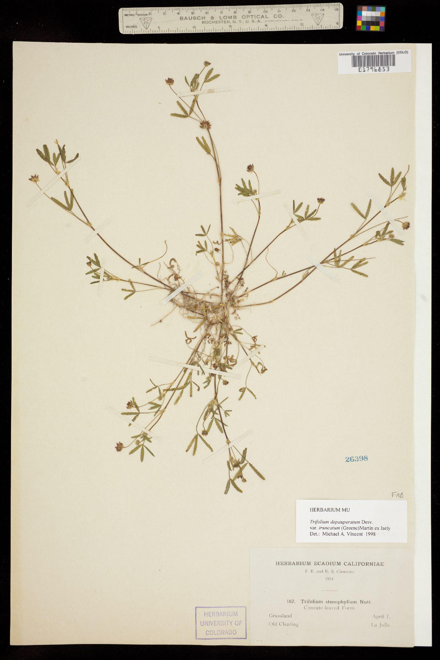 Trifolium depauperatum var. stenophyllum image