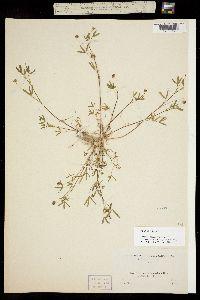 Image of Trifolium stenophyllum