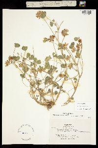 Trifolium fucatum image