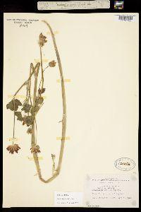 Image of Trifolium fucatum