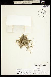 Trifolium monanthum ssp. monanthum image
