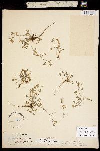Trifolium monanthum ssp. parvum image