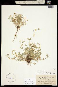 Image of Trifolium multicaule