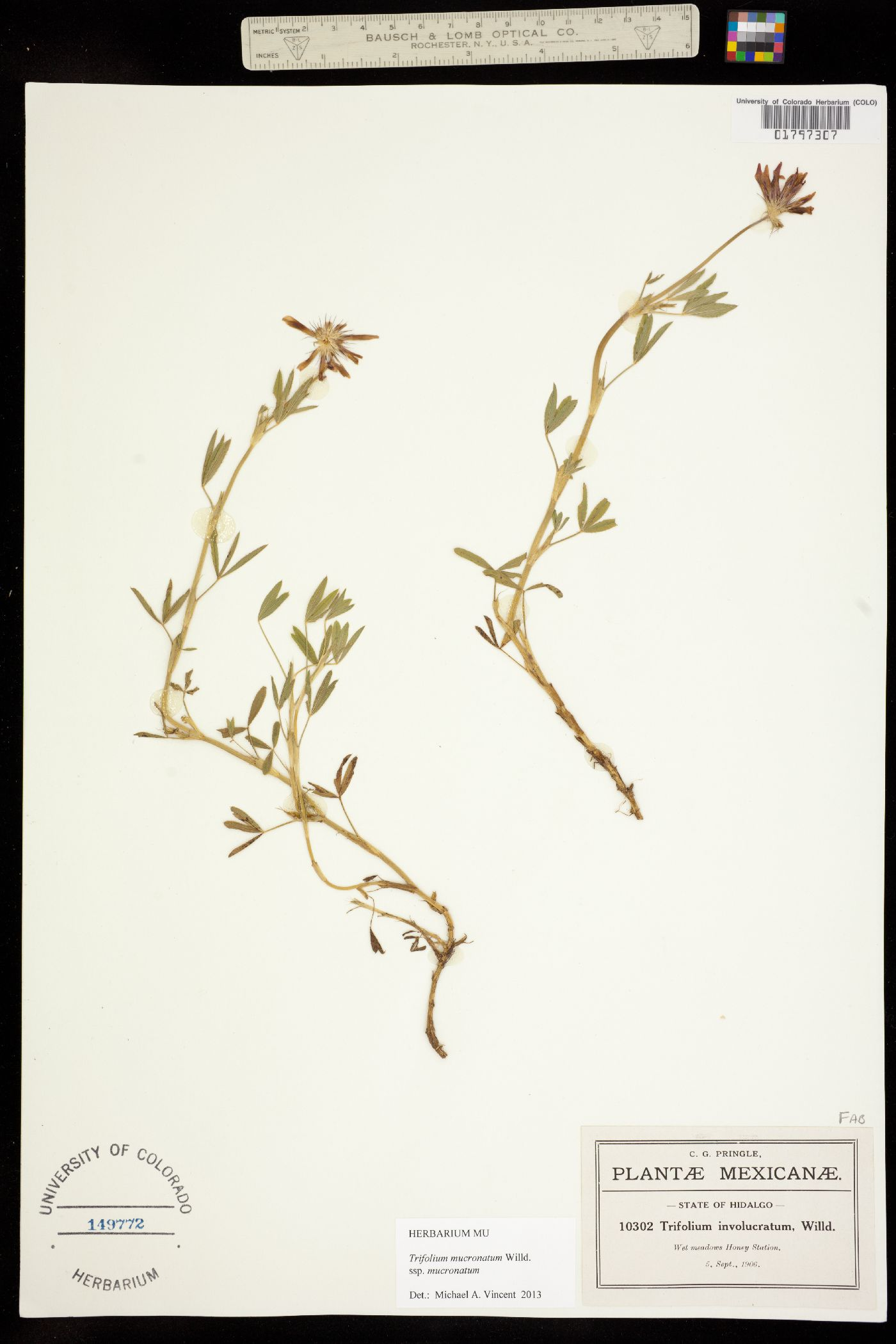 Trifolium mucronatum ssp. mucronatum image
