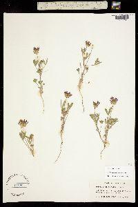 Trifolium willdenovii image