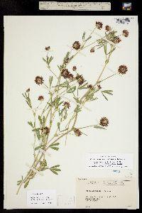 Trifolium mucronatum image