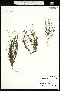 Image of Stuckenia filiformis