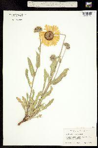 Gaillardia aristata image