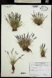 Festuca brachyphylla subsp. coloradensis image