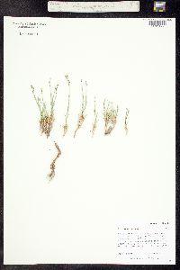 Eremogone kingii subsp. uintahensis image