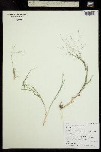 Image of Digitaria pubiflora