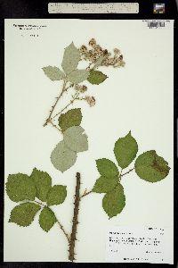 Image of Rubus armeniacus
