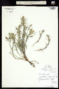 Image of Castilleja flava