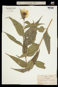 Image of Helianthus hirsutus