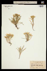 Tonestus pygmaeus image
