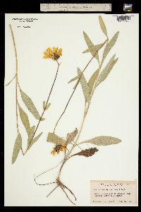 Image of Helianthus rigidus