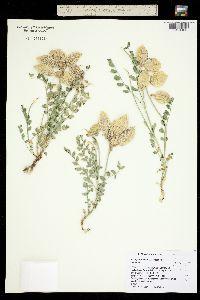 Astragalus oophorus image