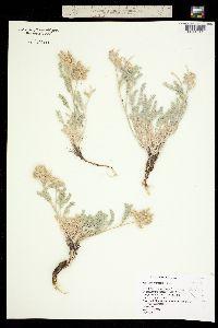 Image of Astragalus andersonii
