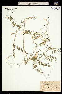 Image of Vicia caroliniana